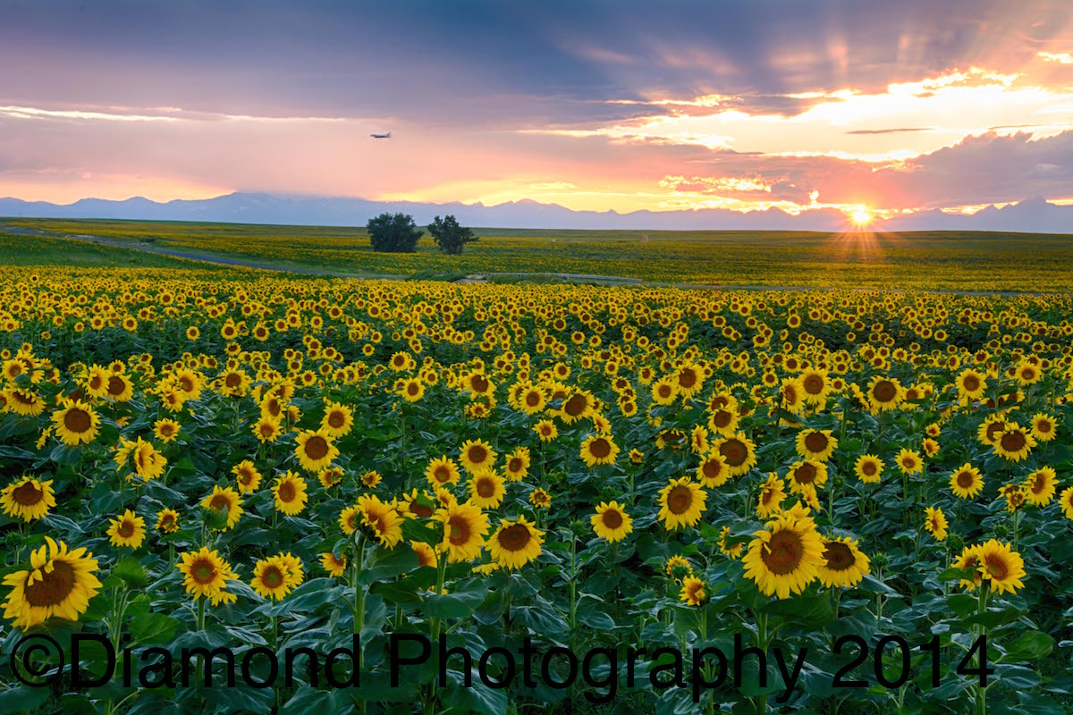 Sunflower Fields At Sunset Outside Denver